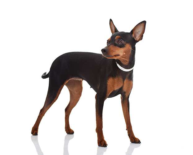 Miniature Pinscher Bow Wow Meow Pet Insurance