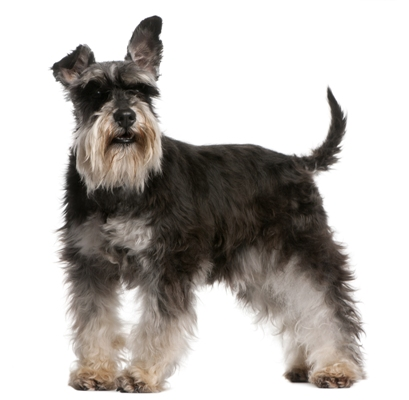 Miniature Schnauzer Bow Wow Meow Pet Insurance