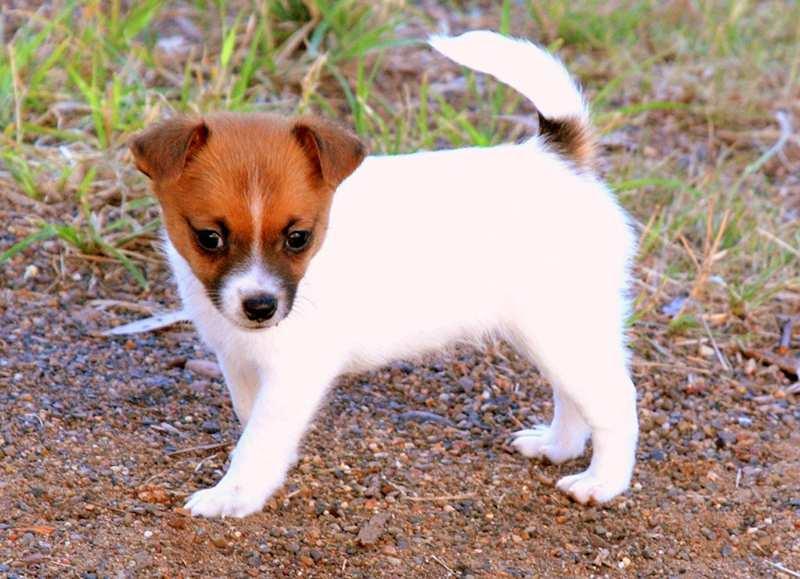 Miniature Fox Terrier Bow Wow Meow Pet Insurance