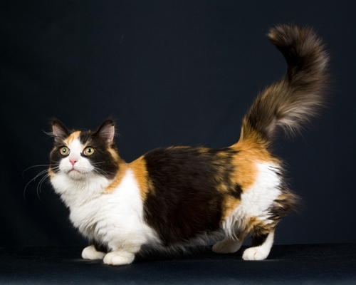 Munchkin Cat Bow Wow Meow Pet Insurance