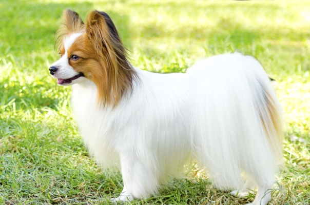 Papillion Standing Papillon Dog Bow Wow Meow Pet Insurance