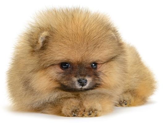 Pomeranian Red Bow Wow Meow Pet Insurance