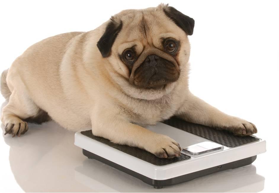 Pug Lying On A Scale