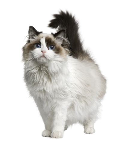 Ragdoll Ragdoll Cat Bow Wow Meow Pet Insurance