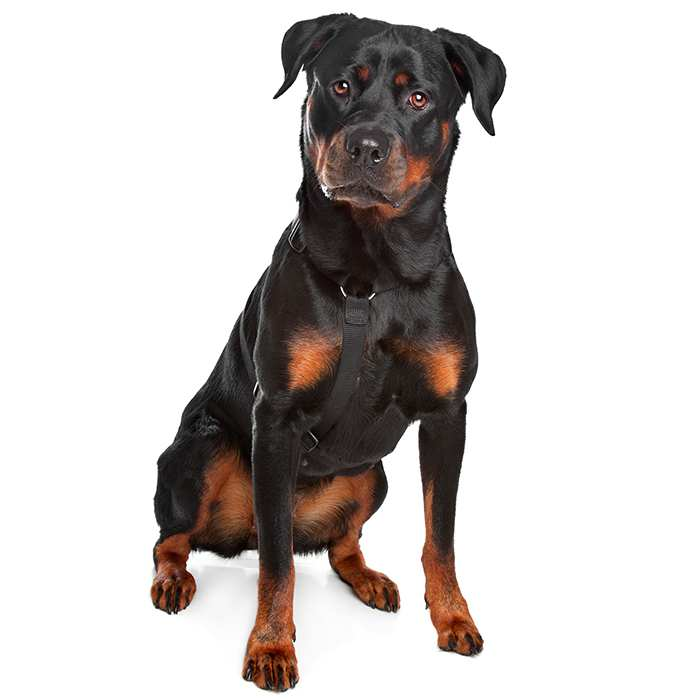 Rottweiler Dog Breed Information Temperament Health
