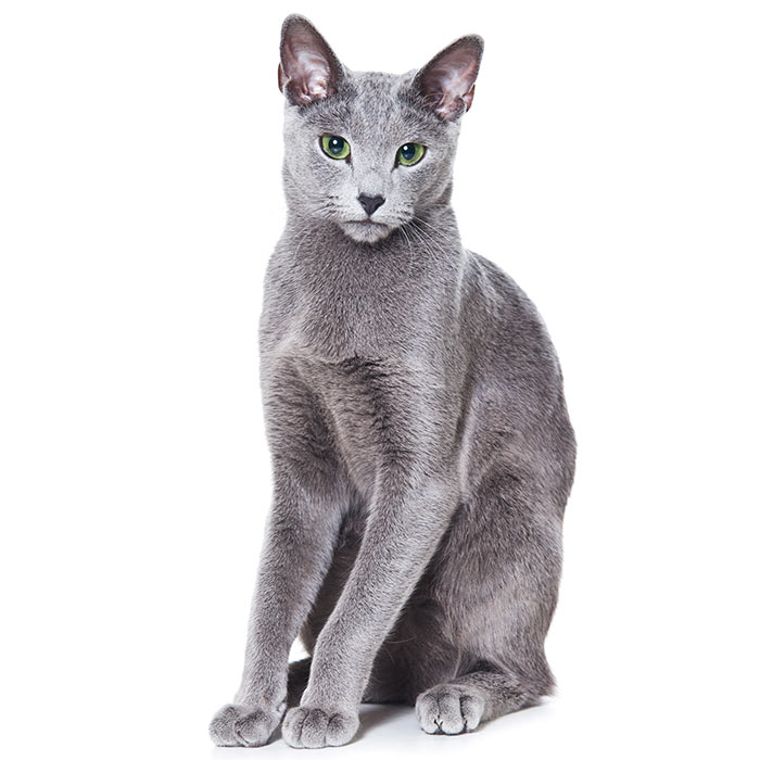 Russian Blue Cat Breed Information Temperament Health