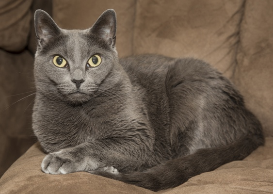 Russian Blue Russian Blue Cat Bow Wow Meow Pet Insurance