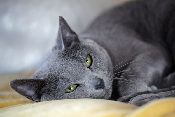 Russian Blue Cat Bow Wow Meow Pet Insurance