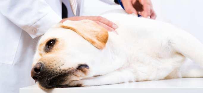 -golden-dog-on-vet-table-examination