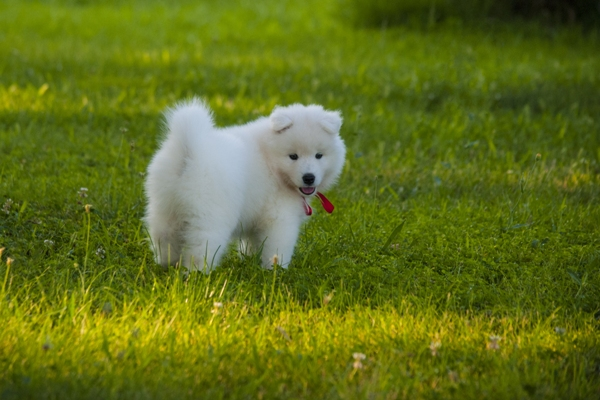 Samoyed Puppy Samoyed Dog Bow Wow Meow Pet Insurance