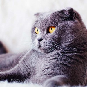 Top 10 Indoor Cat Breeds