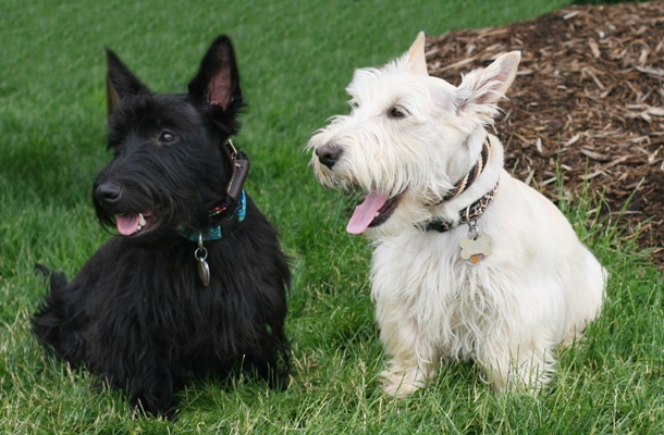 Scottish Terriers Scottish Terrier Dog Bow Wow Meow Pet Insurance