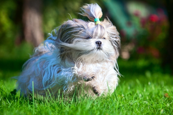 Shih Tzu Running Shih Tzu Bow Wow Meow Pet Insurance