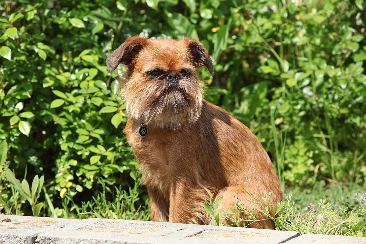 Brussels Griffon Bow Wow Meow Pet Insurance