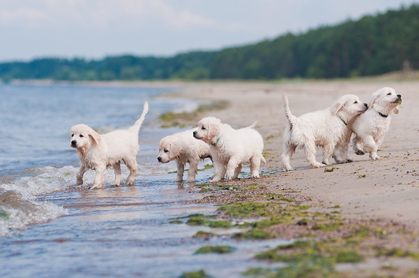 labrador puppies at beach
