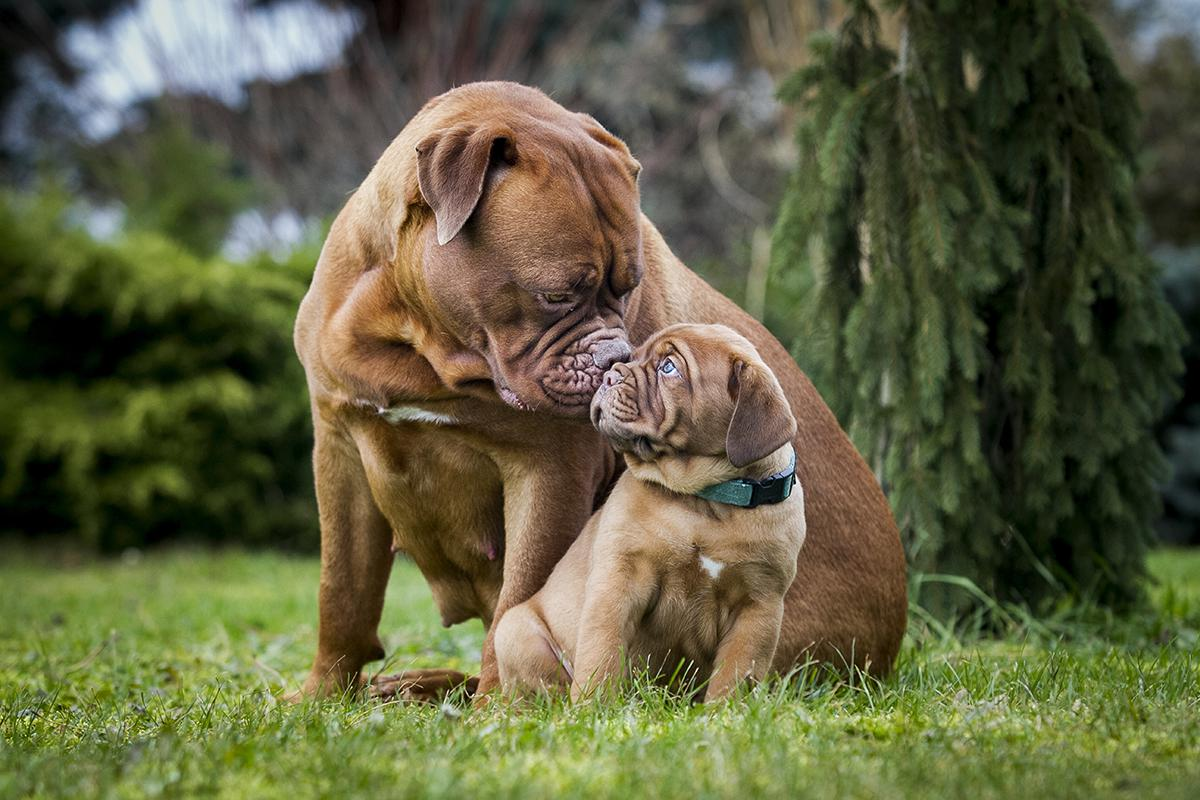 Dogue-De-Bordeaux Bow Wow Meow Pet Insurance