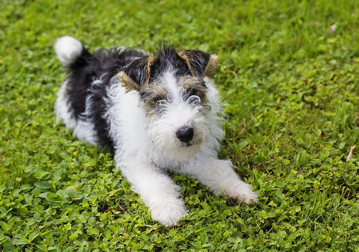 Fox Terrier Bow Wow Meow Pet Insurance