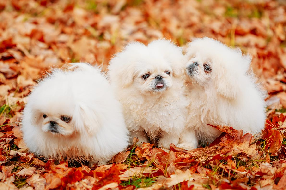 Pekingese Bow Wow Meow Pet Insurance