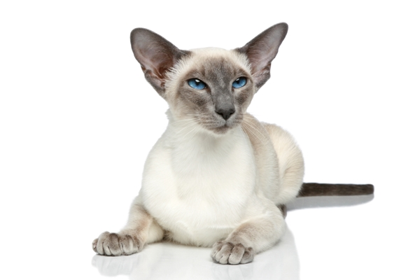 Siamese Cat Bow Wow Meow Pet Insurance