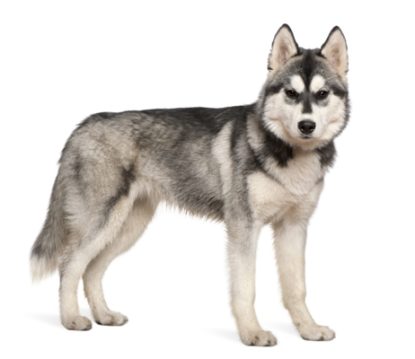 Siberian Husky Siberian Husky Bow Wow Meow Pet Insurance