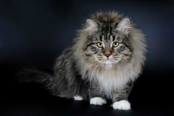 Siberian Cat Siberian cat Bow Wow Meow Pet Insurance