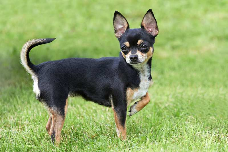 single-chihuahua-in-grass