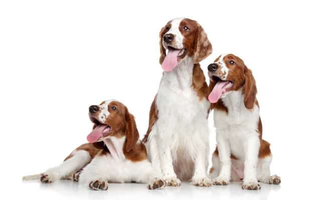 Springer Spaniels Springer Spaniel Bow Wow Meow Pet Insurance