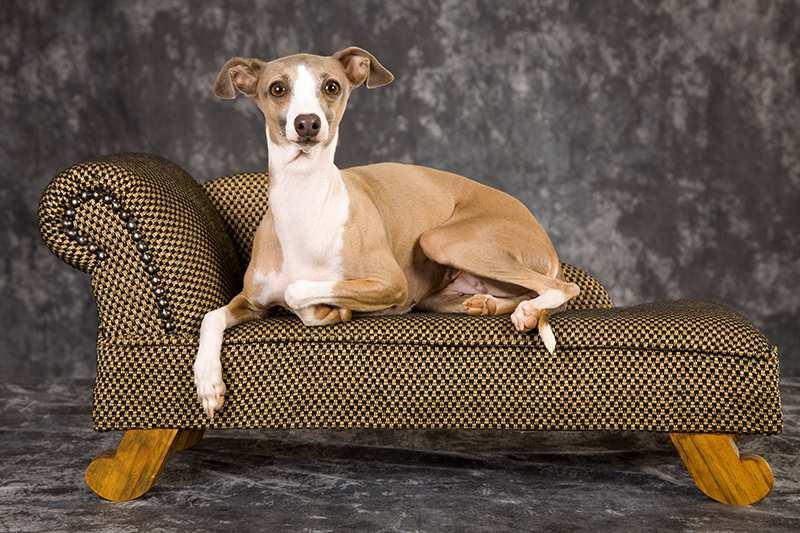 tan-white-italian-greyhound-lying-on-pet-sofa