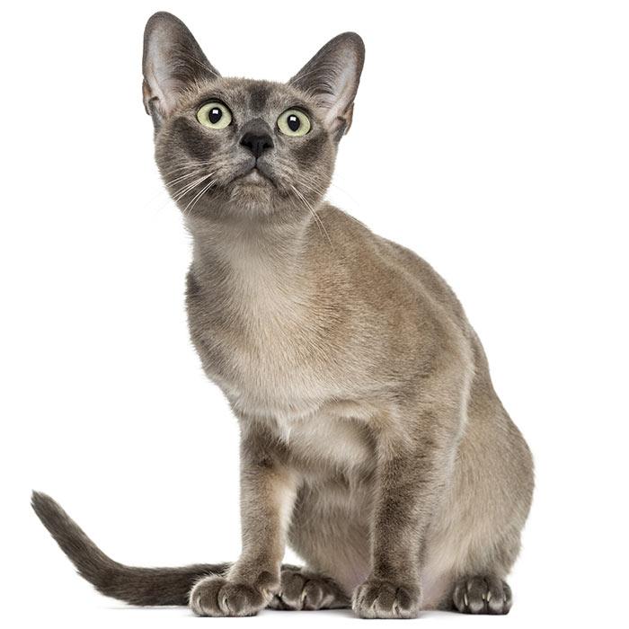 Devon Rex Cat Breed Information | Temperament & Health