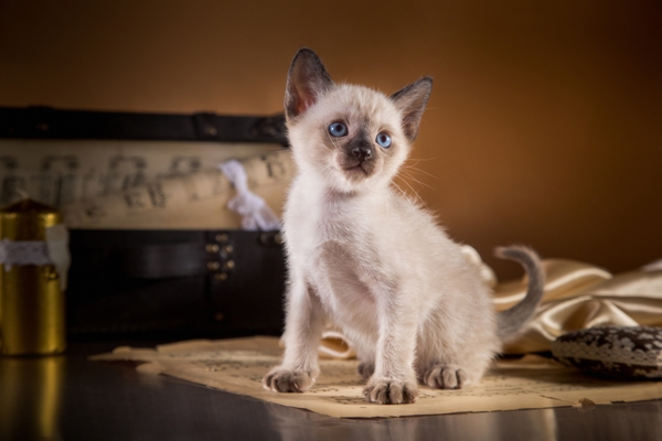 Tonkinese Kitten Tonkinese Cat Bow Wow Meow Pet Insurance