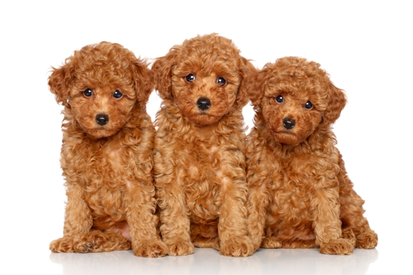 Toy Poodle Bow Wow Meow Pet Insurance