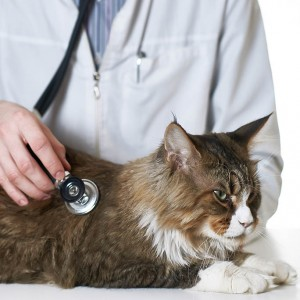 Cardiac disease in cats