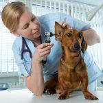 vet examination of dog dachshund ear