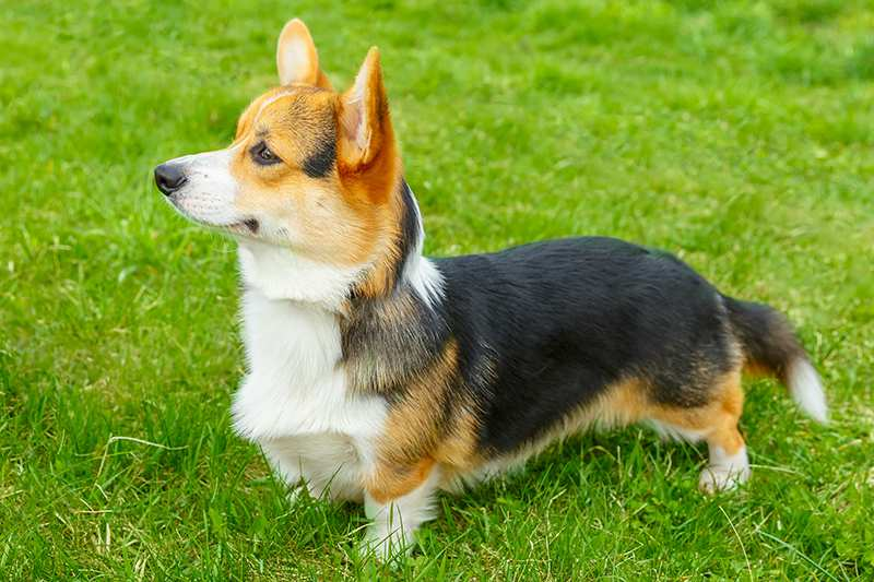 welsh-corgi-in-grass