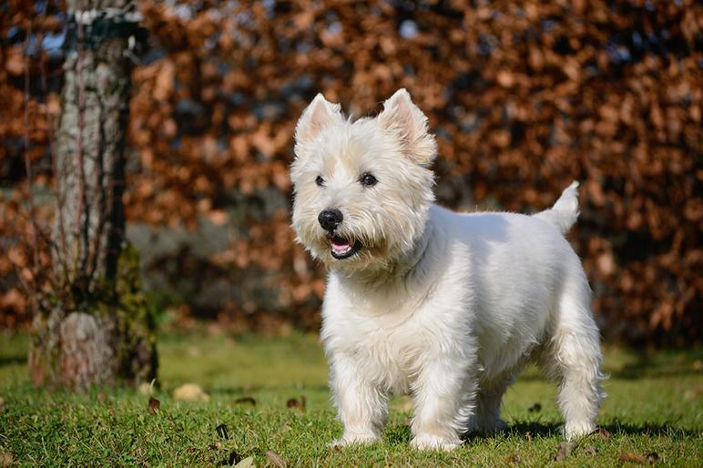 West Highland White Terrier Bow Wow Meow Pet Insurance
