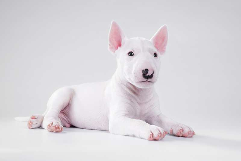 white-miniature-bull-terrier-puppy-liying-on-gray-ground