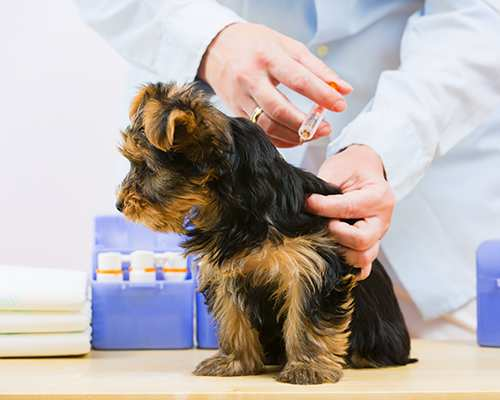 yorkshire-terrier-puppy-yorkie-dog-puppy-vaccination-vet-injection Yorkshire Terrier Bow Wow Meow Pet Insurance