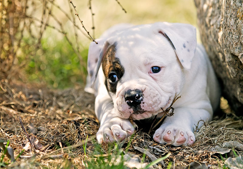 american bulldog cost american bulldog dog breed information temperament health 203
