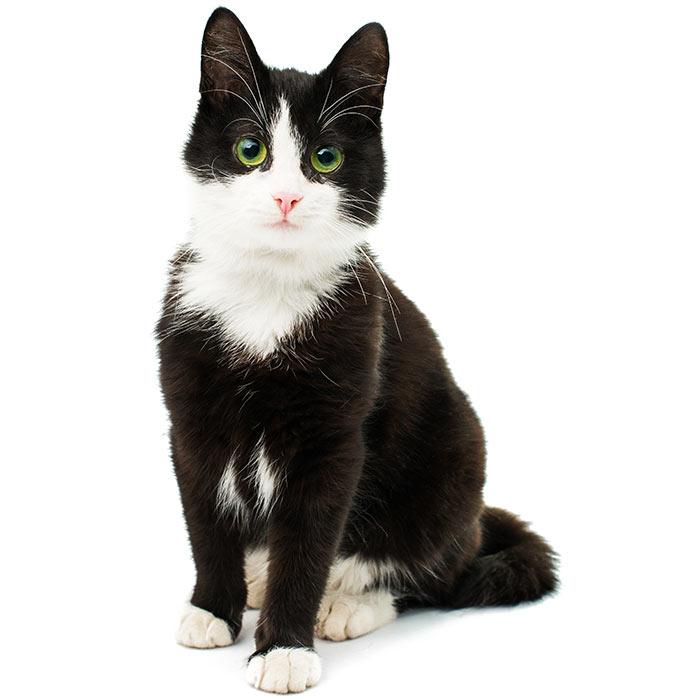 Domestic Cat Pet Insurance Compare Plans Prices