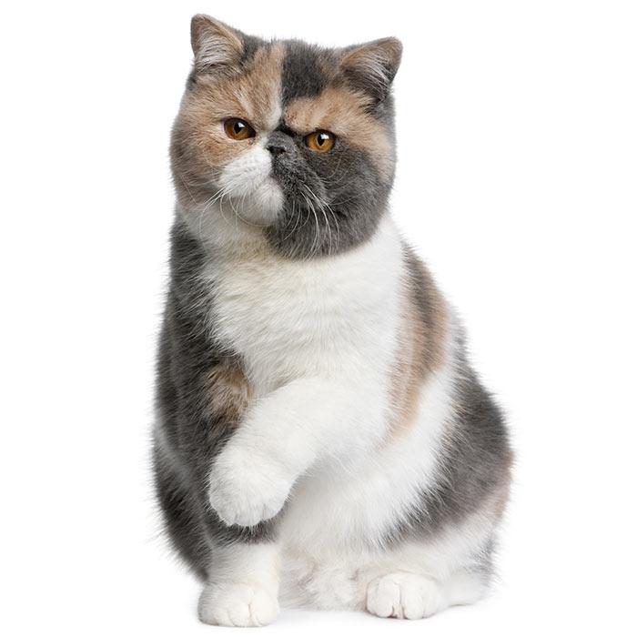 Exotic Short Hair Cat Pet Insurance