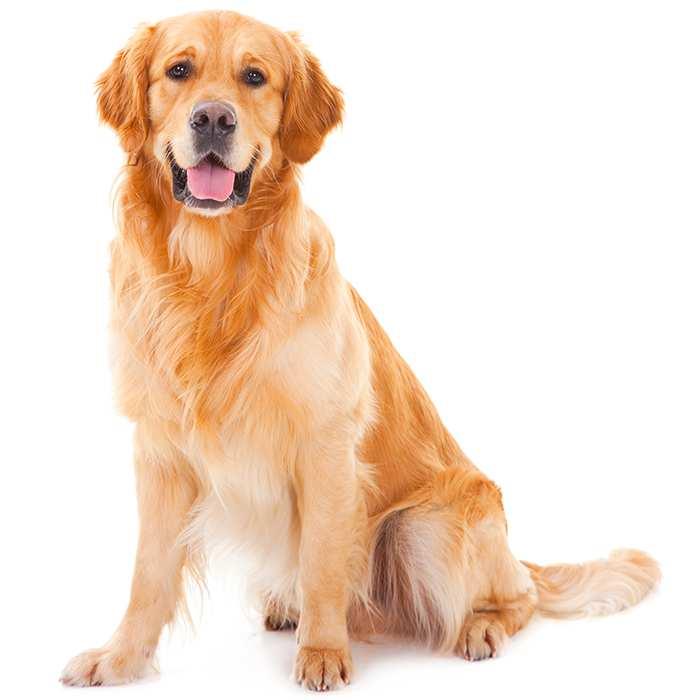 Golden Retriever Pet Insurance | Compare Plans & Prices