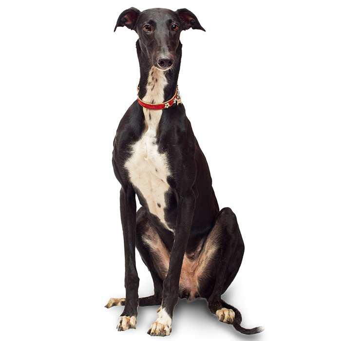 Border Collie Dog Breed Information | Temperament & Health
