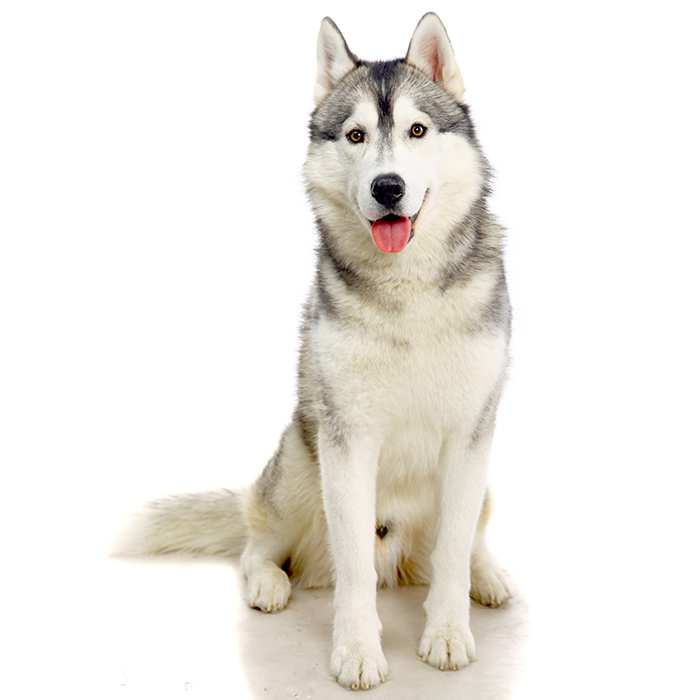 Siberian Husky Pet Insurance Compare Plans Prices