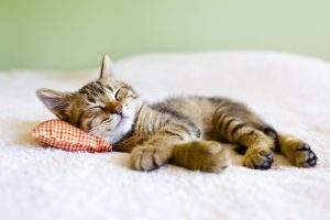 Indoor Cat Pet Insurance plan