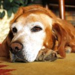 Caring for your elderly dog
