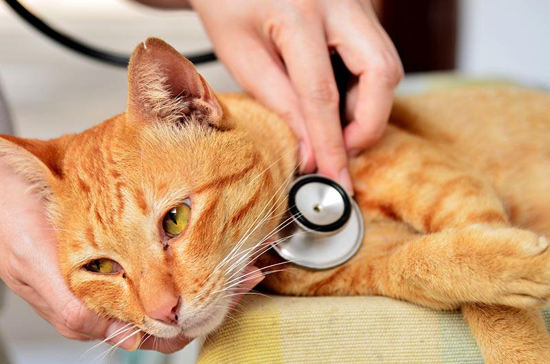 cat examinated by vet Pneumonia in cats: sick cat