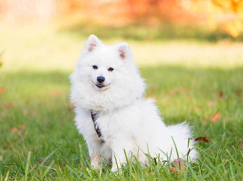 content and happy japanese spitz sitting outddors on grass meadow