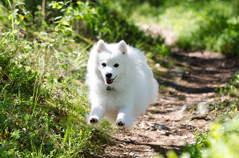 Japanese Spitz Dog Breed Information | Temperament & Health