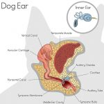 Canine ear (aural) disease