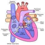 Congestive heart failure (CHF) in dogs and cats